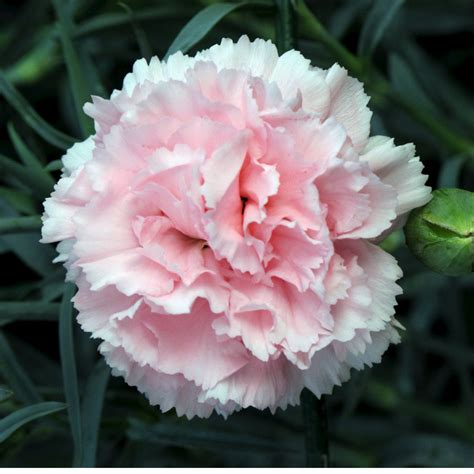 facts about carnations carnations flowers carnation flower gallery 7