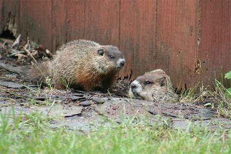 groundhog troubles at the cottage cottage tips