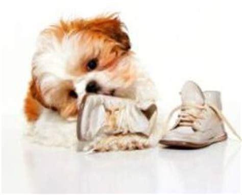 shih tzu puppy biting shih tzu nipping biting