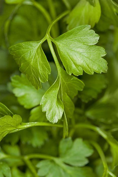 learn   grow parsley   garden