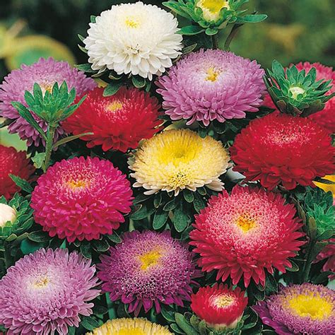 Bibit Bunga Powder Puff Aster by Aster Pompon Mixed Seeds From Mr Fothergill S Seeds And Plants