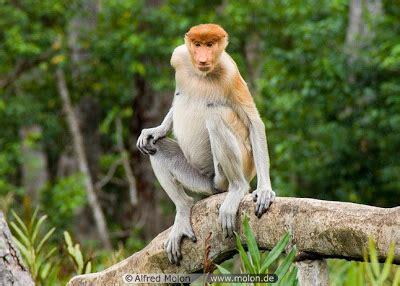 Vcd Pipi Di Dunia Fantasi aneka info bekantan monyet belanda nasalis larvatus