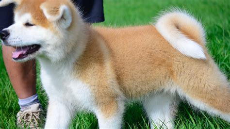 what of is hachi image gallery hachiko akita