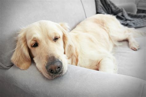 bacterial infection in dogs bacterial infection cylobacteriosis in dogs