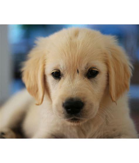Puppy Golden Retriever golden retriever puppy sale in nepal