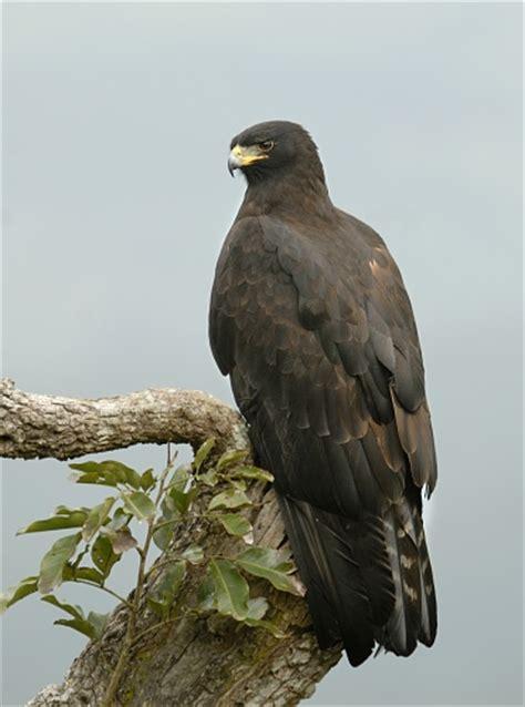 wallpaper elang hitam black eagle wikipedia