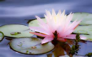 Lotus And The Beautiful Wallpapers Lotus Wallpapers Hd
