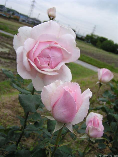 diana rose diana rose
