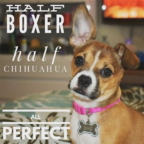 boxer chihuahua mix puppies boxachi breed information and pictures