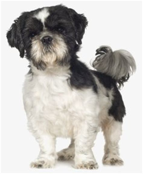 shih tzu puppy feeding schedule shih tzus the sensible way
