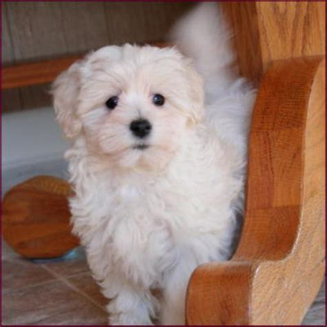 maltese poodle puppies for sale baby chihuahua poodle maltese puppies for sale