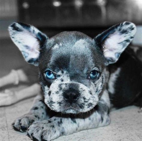 blue frenchie puppy 25 best ideas about bulldog mix on blue merle bulldog