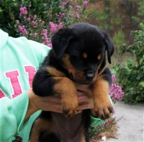rottweiler breeders nh and carming rottweiler puppies for free adoption available get back to us