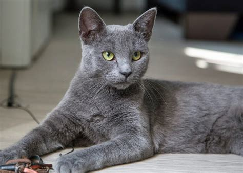 Do Russian Blue Cats Shed by Russian Blue Cat Breeds Breed Info Cat Mania For