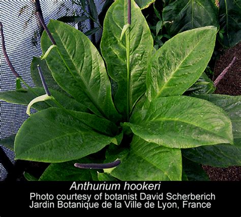 most common tropical houseplants names of rainforest trees tropical rainforest plants and their names the name quot anthurium
