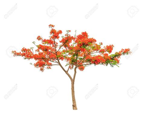Delonix Syari D 1 royal poinciana or flamboyant tree delonix regia tropical tree in the northeast of thailand