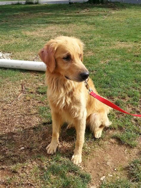 golden retriever rescue nyc foster to adopt goldheart golden retriever rescue