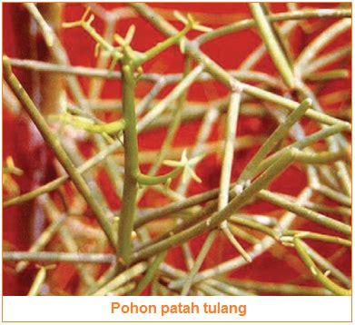 manfaat tanaman obat temulawak jeruk nipis sirih