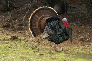 Tips for hunting turkeys 10 things to remember while turkey hunting