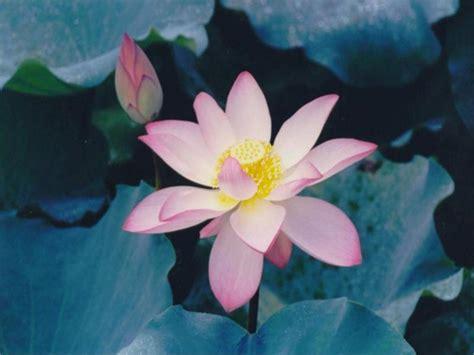 immagini fiori immagini fiori wallpaperart
