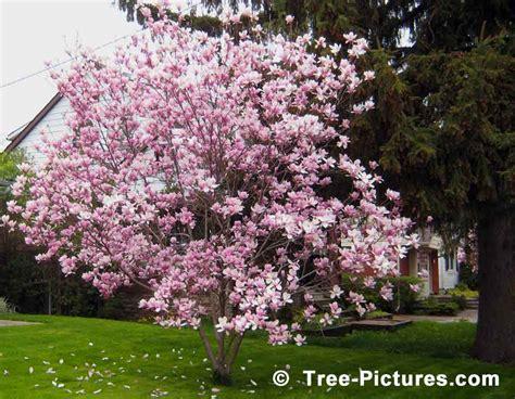 magnolia tree images pictures of flowering magnolia trees