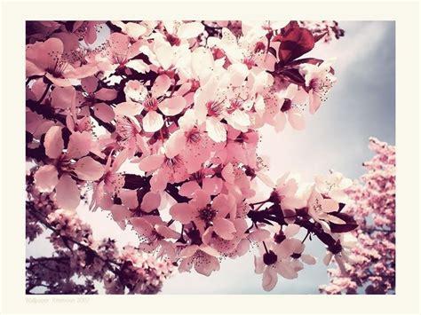 fiore in giapponese ciliegio giapponese significato fiori significato