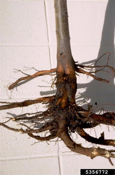phytophthora root  crown rots phytophthora spp