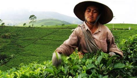 Teh Hijau Kemuning kebun teh teh kemuning wisata yogyakarta