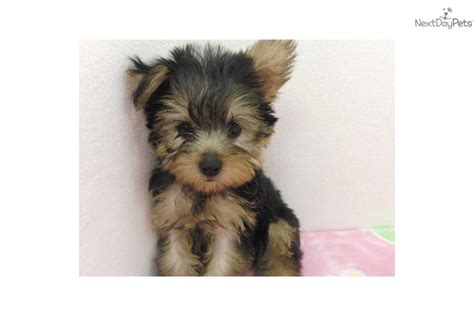 yorkie black and gold black and gold terrier puppies