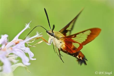 common clear wing hummingbird moth flickr photo sharing