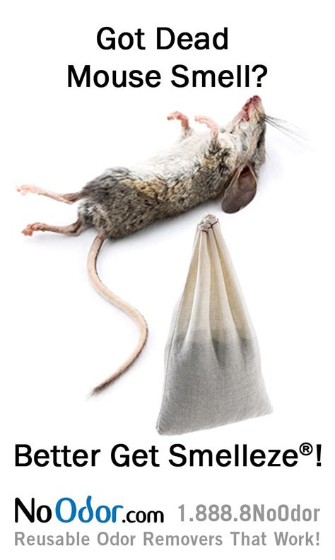 dead rat smell 8 best images about mouse infestation smell solutions on