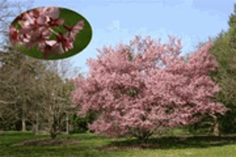 cherry tree auctions okame cherry tree free shipping