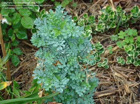 plantfiles pictures common rue garden rue herb of grace