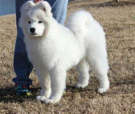 samoyed puppies oregon white magic samoyeds purebred studs breeders and puppies in hairstyles