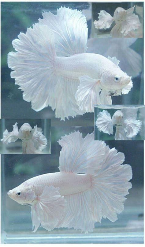 Makanan Ikan Hias Snow White snow white betta ikan cupang putih polos ferboes