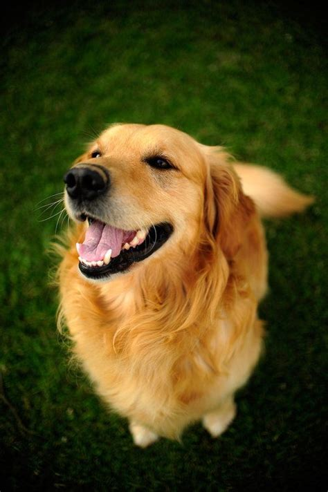 bulldog and golden retriever mix best 25 golden retriever mix ideas on golden dachshund dachshund mix and