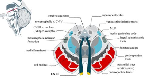 brain stem cross sections the brainstem and blood supply to the brain human anatomy