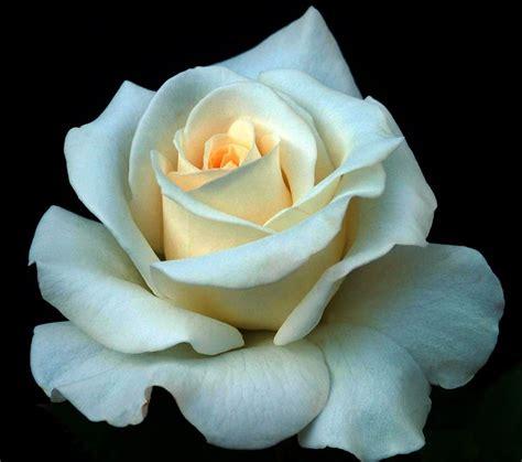 fiori simbologia simbologia fiori significato fiori simbologia fiori