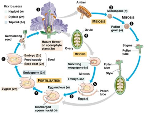 flowchart of pollination fertilization and seed development plant angiosperm cycle