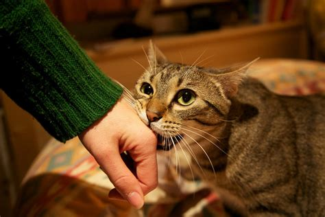 Stop Cat From On by 9 Tips To Stop Your Cat From Biting Iheartcats All
