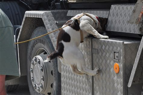 how sniffer dogs are trained the official website of virunga national park congohounds