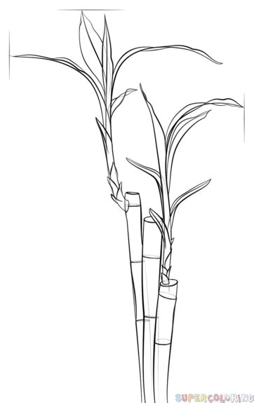 Drawing Of A Bamboo Tree by How To Draw A Bamboo Step By Step Drawing Tutorials