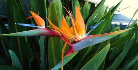 bird paradise flower 35 attractive bird of paradise flower pics golfian com