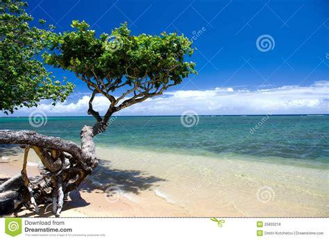 beautiful small heliotrope tree at anini beach royalty