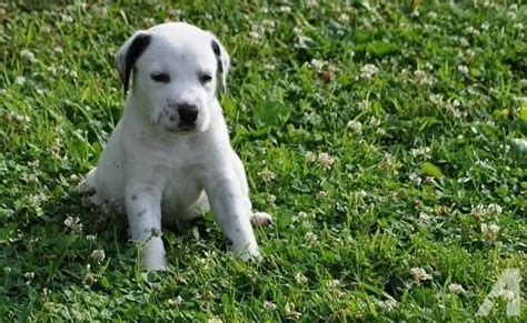 dalmatian puppies for sale in ny st bernard dalmatian mix puppies for sale in unadilla new york classified