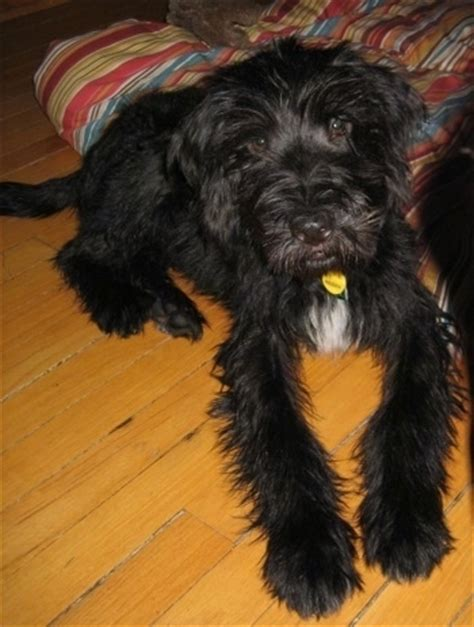 wheaten terrier mix puppies mixed breed pictures with bios 8
