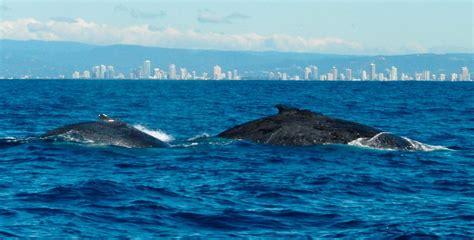 imagenes impresionantes de ballenas migraci 243 n de las ballenas im 225 genes y fotos