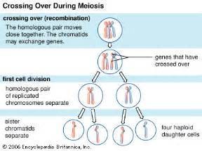 Crossing over or recombination occurs in the early stages of meiosis