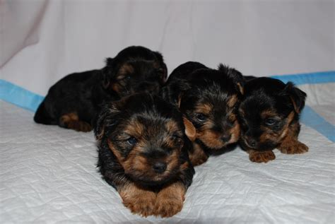 teacup terrier puppies for sale pin yorkie terrier teacup for sale on