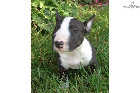 bull terrier puppies for sale in california miniature bull terrier puppies for sale in california breeds picture